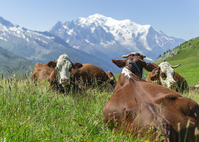 race Abondance vache de Savoie