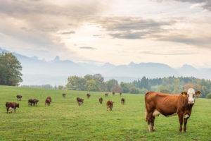 vaches pâturage en Savoie